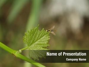 Vine little wasp leaf