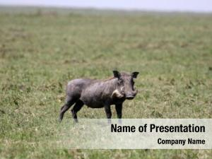 Mara warthog maasai national park,