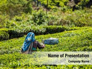 Woman unidentified indian harvests tea