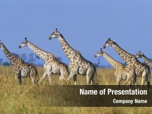 Giraffes group maasai (giraffa camelopardalus)