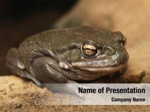 Toad colorado river (incilius alvarius),