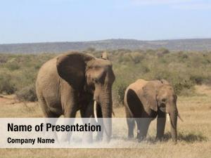 Elephant wild african