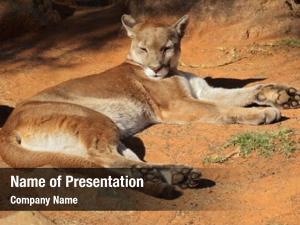Concolor) cougar (puma also known