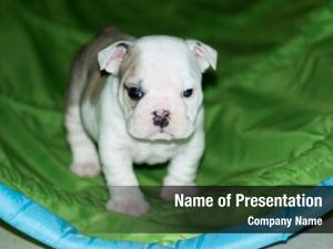 Puppy english bulldog learning through