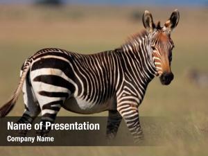Mountain endangered cape zebra (equus