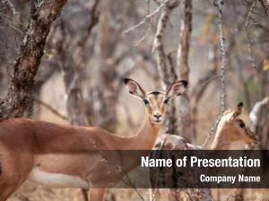Bush impala antelopes botswana