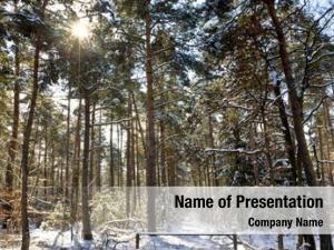 Forest pine tree winter, sun