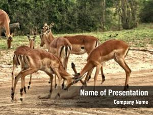 Antelope deer, impala fighting