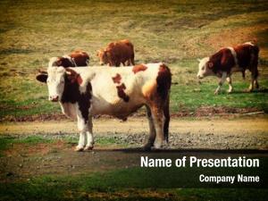 Pasture cows grazing