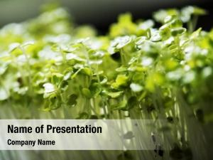 Sunflower sprout powerpoint template
