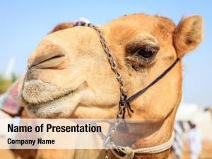 Portrait shot of a camel