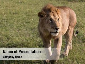 Mara lions maasai national park,