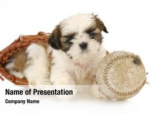 Tzu adorable shih puppy laying