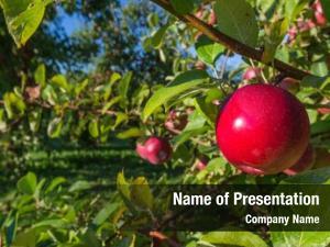 Ripe fresh apple picking commercial