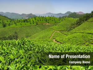 Munnar, tea plantations kerala, india