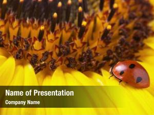 Yellow red ladybug sunflower, ladybird