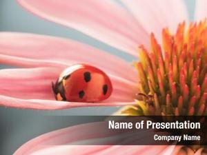 Echinacea red ladybug flower, ladybird