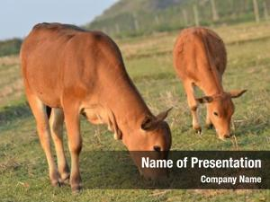 Farmland cattle grazing
