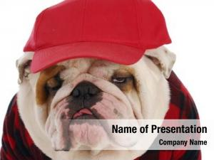 English funny looking bulldog wearing