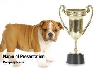 english puppy trophy bulldog standing