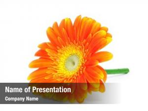Daisy orange gerbera white