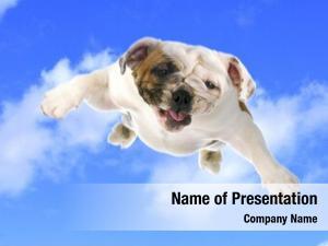 English dog flying bulldog flying
