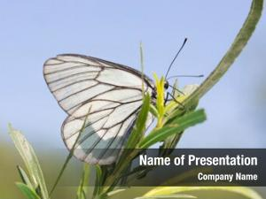 Crataegi butterfly aporia