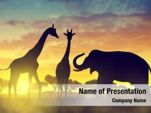 Giraffes silhouette elephant savannah sunset