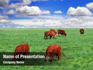 Field cows feeding farm
