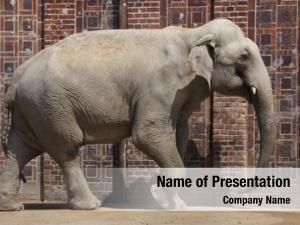 (elephas indian elephant maximus indicus)