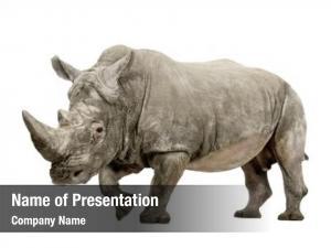 Square lipped white rhinoceros rhinoceros ceratotherium