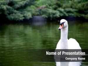 Beautiful swan lake white bird