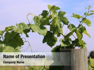 Vineyard wine grape featuring wine