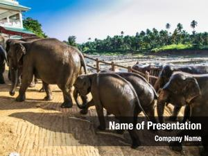Bathing herd elephants jungle river