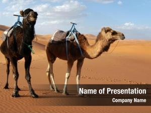 Dromedaries arabian camels (camelus dromedarius)