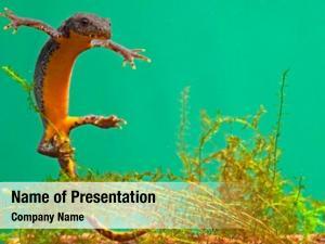 Under newt swimming water aquatic