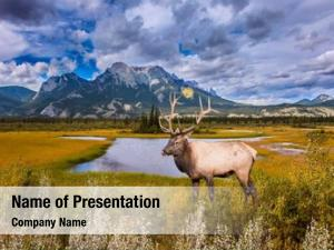 Rocky mountains noble deer with branched