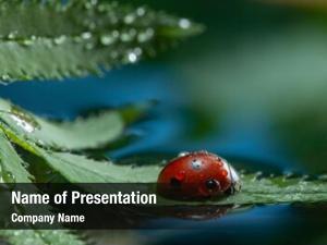 Green red ladybug leaf, ladybird