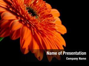 Black orange daisy gerbera