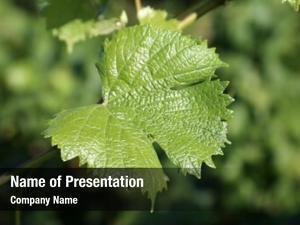 Vineyard wine grape featuring wine