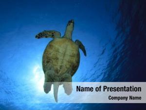 (hawksbill sea turtle turtle eretmochelys