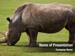 White side view rhinoceros grazing
