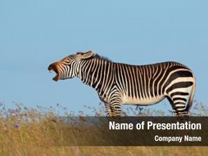 Zebra cape mountain (equus zebra)