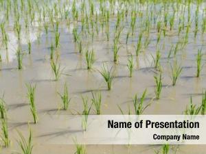 Rice planting fresh