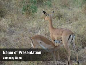 Baby antelope impala savanna