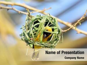 Weaver southern masked african masked