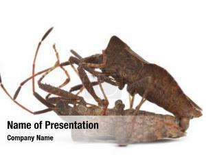Coreus dock bug, marginatus, species
