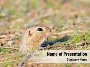 Field prairie dog