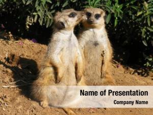 Meerkats photo two