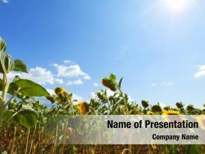 Field dry sunflower